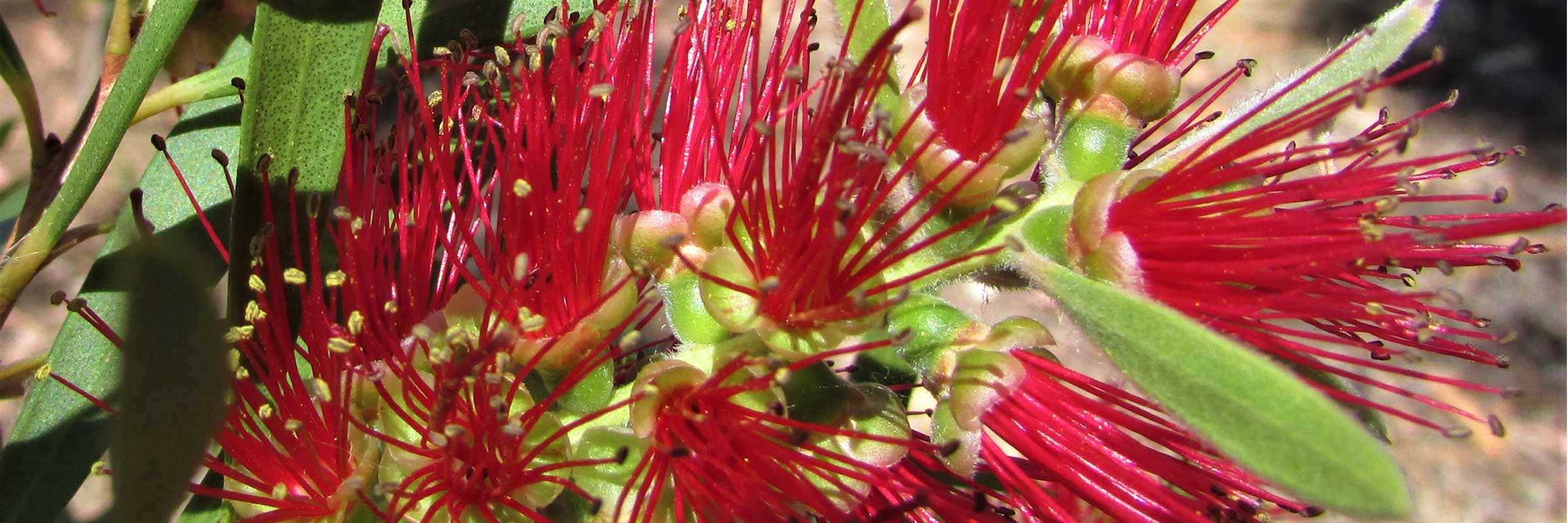 Bottlebrush-photo-slider-op