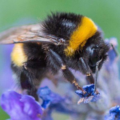Honeybee Mini Study
