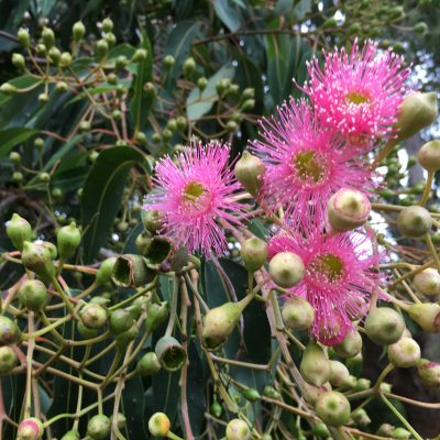 Identifying Eucalyptus Trees