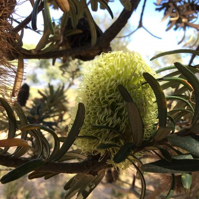 Come and Look at Banksias with Us.